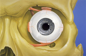 Orbit Eye Socket